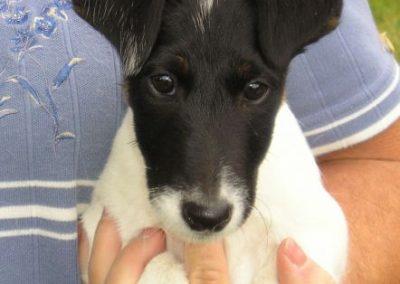 """Sara's puppy """"Dottie"""" at 8 weeks"""